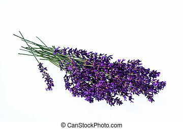 lavender in front of white background - lavender flowers...
