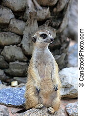 Meerkat standing alert and watchful