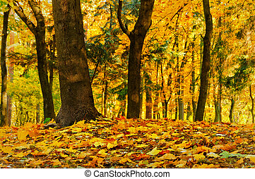 Golden leaves in the forest - Fall golden colored maple...