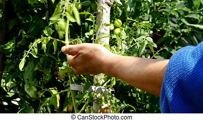 tomato harvest - Woman Hands Harvesting tomato with pruner