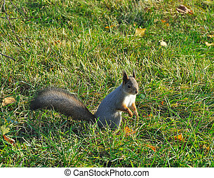 Squirrel sitting on green grass in autumn park