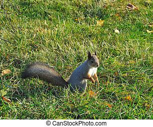 Squirrel sitting on green grass in autumn park