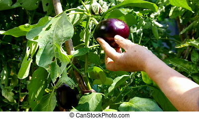 egg plant harvest - Woman Hands Harvesting an eggplant with...