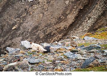 Couple of rock ptarmigan birds nesting in Svalbard, Norway