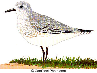 Black-bellied Plover - Pluvialis squatarola - winter