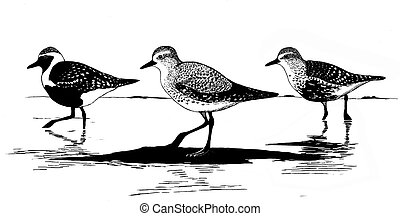 Black-bellied Plover - Pluvialis squatarola - summer,...