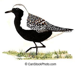 Black-bellied Plover - Pluvialis squatarola