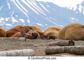 Morsas, mentindo, ligado, a, costa, em, Svalbard, noruega,