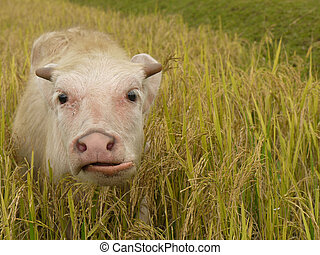 Buffalo calve - A white buffalo calve in a rice field