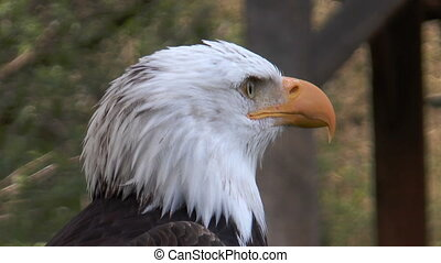 american bald eagle (Haliaeetus leu - head of american bald...
