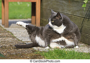 Yoga obesicat - Beautiful fat cat with obesity doing some...