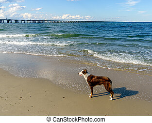 Border Collie at the Beach - A young Border Collie hanhing...