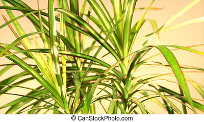 dragon tree dracaena marginata Tricolor - the loopable...