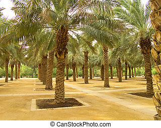 Plam garden - Palm garden in the Riyadh city, Saudi Arabia...