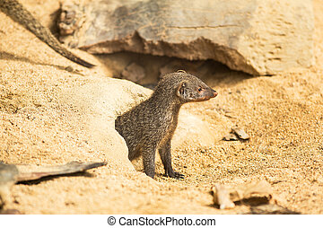 Mongoose portrait