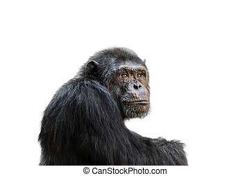 Chimp - Sad chimp portrait isolated on white background