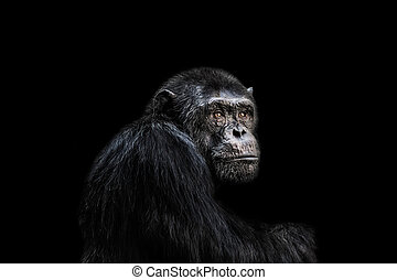Chimp - Sad chimp portrait black background.