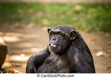 Chimp - Sad chimp portrait in a zoo