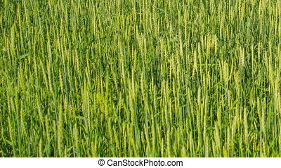 Time lapse green wheat field summer day