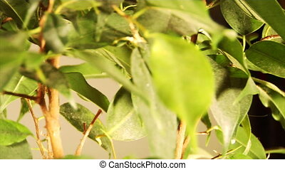 ficus ficus benjamina linnaeus - the loopable rotation of...