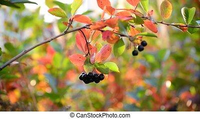 aronia autumn on a sunny day - An aronia autumn on a sunny...