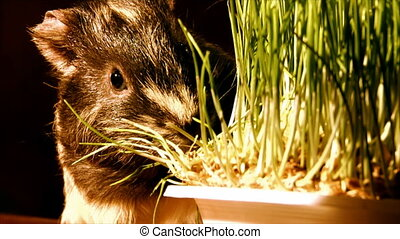 eating guinea pig - guinea pig eat the grass