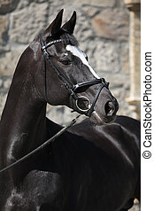 Beautiful black dutch warmblood with bridle - Portrait of...