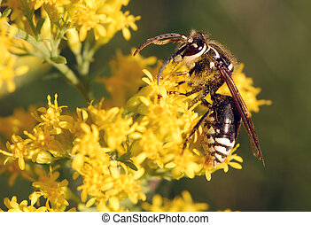 Bald Faced Hornet - Bald faced hornet on Goldenrod