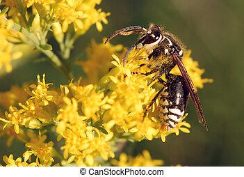 禿頭, 面對, 大黃蜂