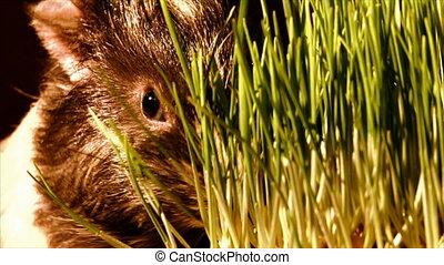 eating guinea pig - guinea pig eat the grass