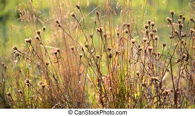 Weeds at sunset in the breeze - Weeds at a sunset in the...