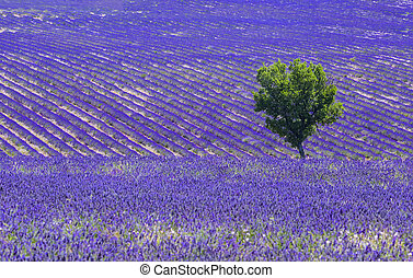 Lavender field and tree - Beautiful lavender filed in...