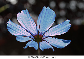 the other side of a blue cosmos - blue cosmos flower in...