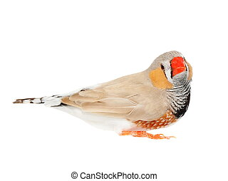 Zebra Finch, isolated on white