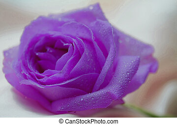 Single purple lila rose with waterdrops - Solitaire purple...