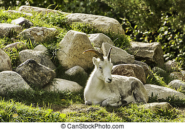 Mountain Goat relaxing on a rocky outcrop