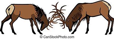 Male Elk Fighting - bull elk sparring in the rut season