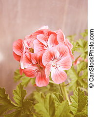 Retro looking Geranium - Vintage looking Geranium flower...