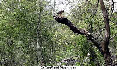 Red Tailed Hawk Sitting On Branch D - Hawk Sitting On Branch...