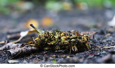 Wildlife swarm wasps eat rotten pear or apple on the ground....