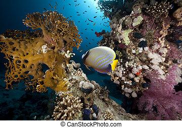 emperor angelfish and ocean