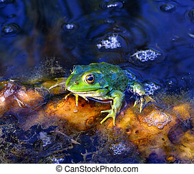 Green frog on green leaves on the lake