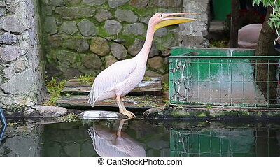 Great pink pelican