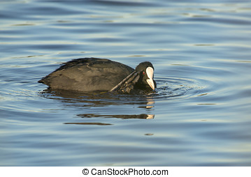 Eurasian Coot Fulica atra scratching itself with its foot on...