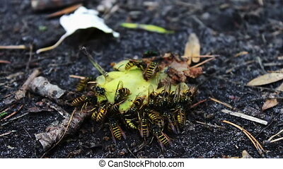 Wildlife swarm wasps eat rotten pear or apple on the ground...