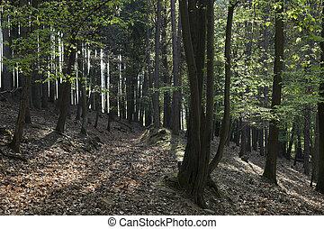 The hornbeam forest - The old hornbeam forest in falls...