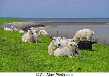 Eastern Friesland sheeps