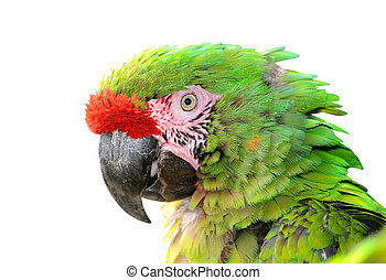 Military macaw Ara militaris mexicana portrait isolated on...