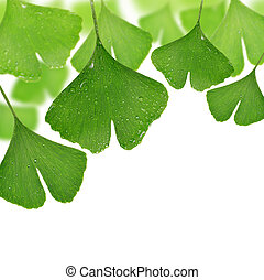 ginkgo biloba leaves with dew drops on white background