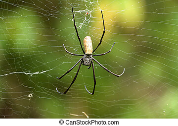 Nephila pilipes, big spider, Bali, Indonesia - Close up of...